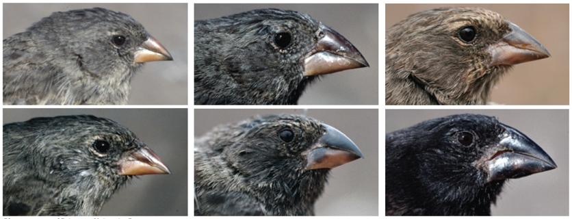 Evolution: Library: Adaptive Radiation: Darwin's Finches