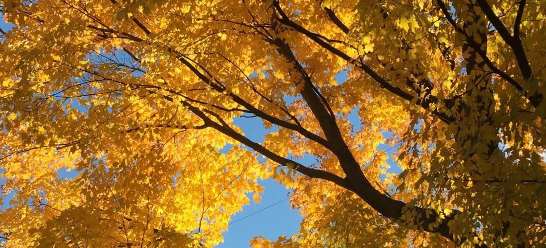 A tree shines yellow near the UW–Madison Arboretum