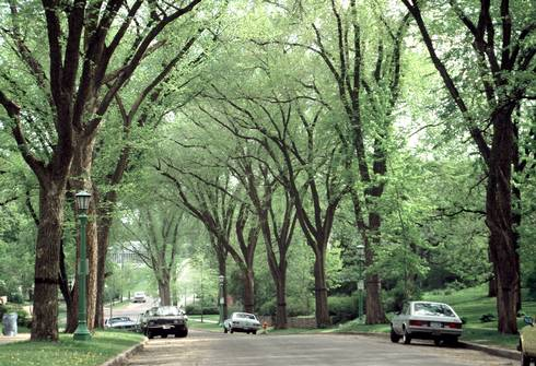 American elm trees once lined many suburban streets, creating shady canopies for street-goers.
