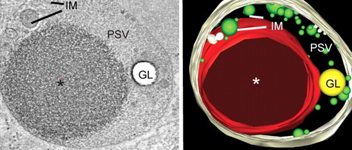 A greyscale electron microscopy image of a plant cell is shown on the left, the false-color rendering of the features in the EM image is shown on the right
