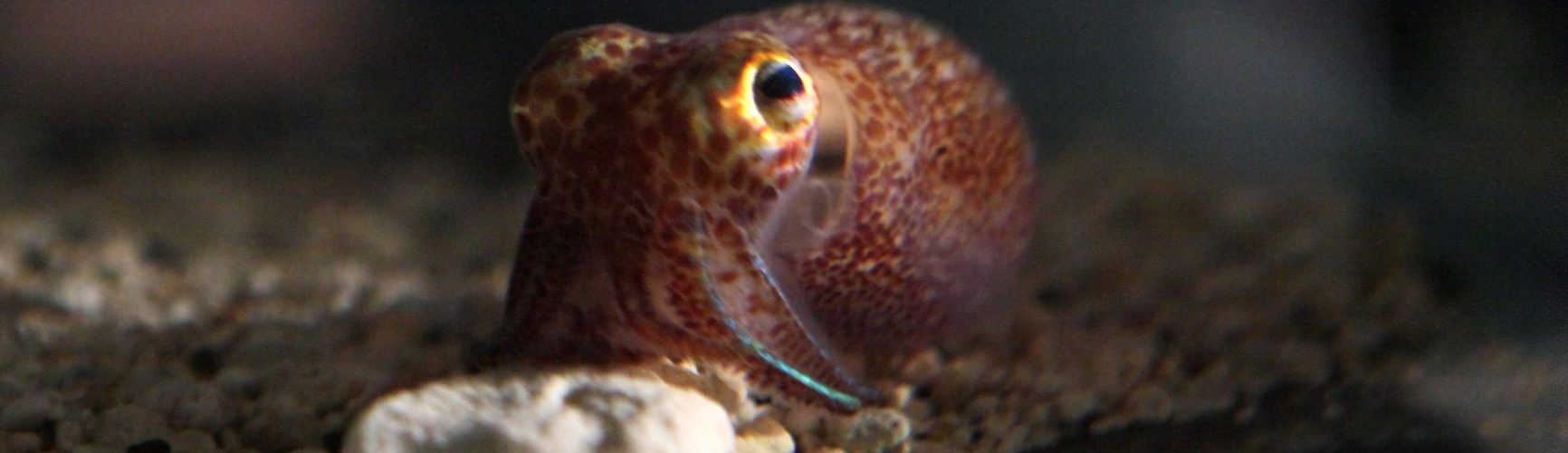 Hawaiian bobtail squid typically grow to around a golf ball in size, and have no outer protection from predators besides counter-illumination.