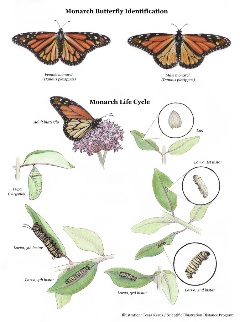 Illustrated life cycle and identificaiton of monarch butterflies