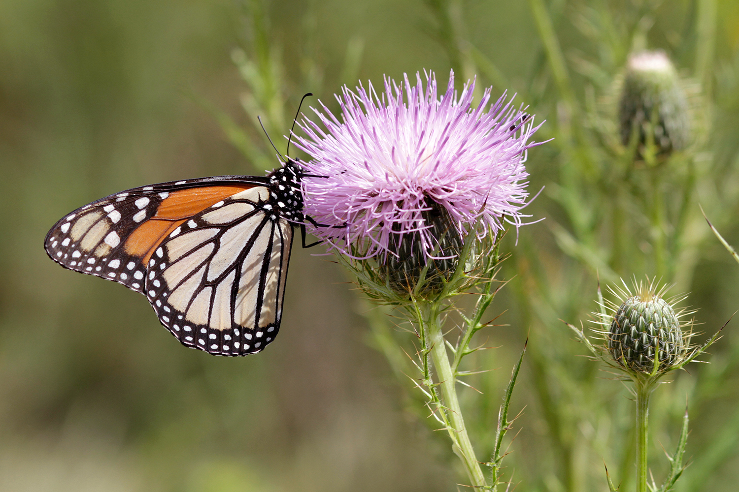 Monarch butterfly on blooming pasture thistle
