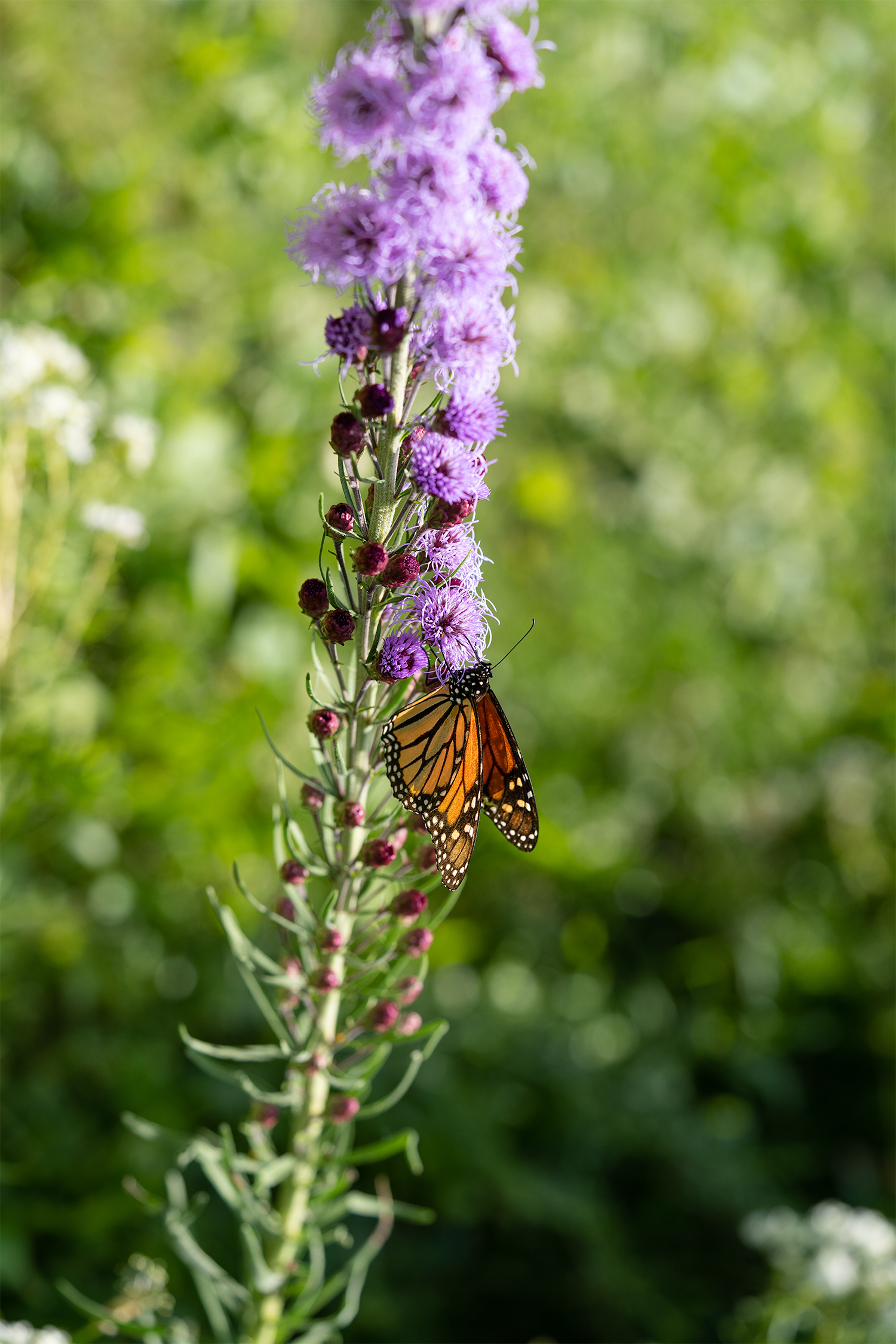 Monarch butterfly on a blooming rough blazing star